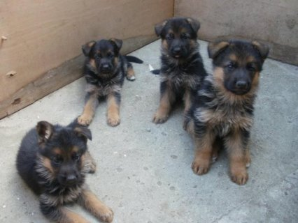 German shepherd puppies For Sale , imported parents