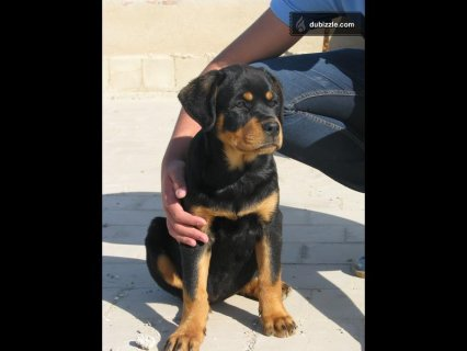 Female rottweiler for sale 4 monthes