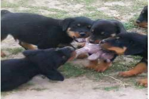 Male and Female Rottweiler Puppies available