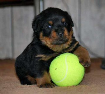 صور Cute Adorable Rottweiler Puppies Available for adotion 1