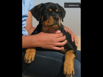 Female rottweiler for sale 3 monthes