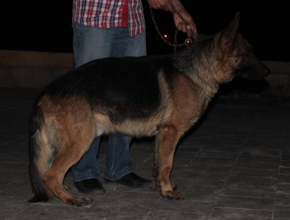 For Sale.....Male (German Shepherd