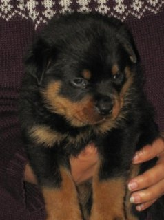 Rottweiler Puppies (imported Parents)