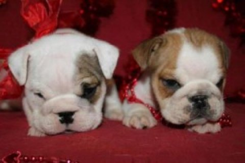 Male and Female English Bulldog Puppies For Sale
