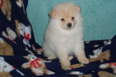 Full Breed Pomeranian puppies for Adoption.