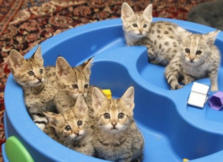 HEALTHY F1 to F5 SAVANNAH KITTENS AVAILABLE