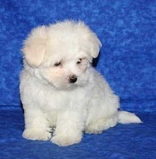 Adorable toy size Maltese for
