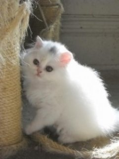 Litter Trained. All White Persian.