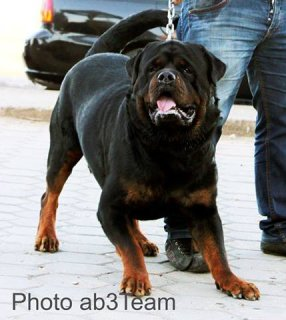 صور Super Rott Puppies 1