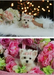 TeacupPuppiesStore ♥ Gorgeous Maltese puppy