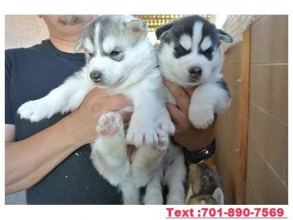 Siber. Husky Female Puppy