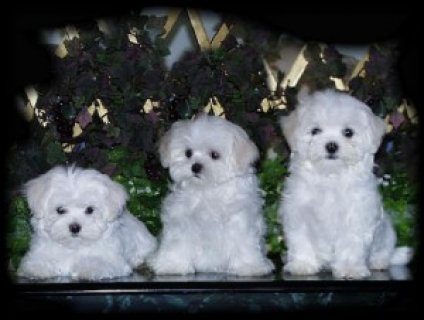 Gorgeous Male and Female Maltese Puppies