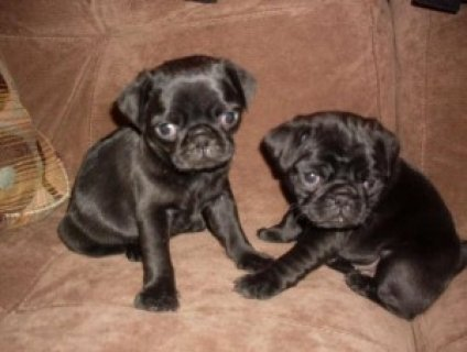 i have male and female pug puppies