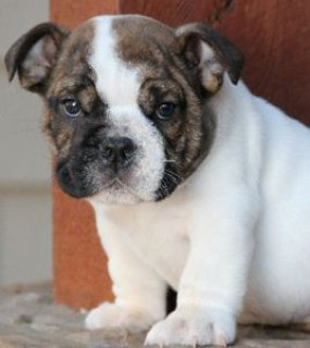 Registered,male and female English bull dog puppies
