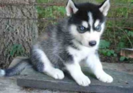 Affectionate and Lovely Siberian Husky Puppies