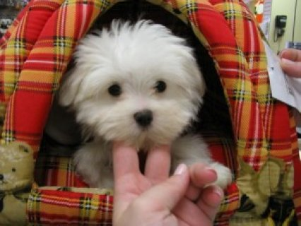 Playful Teacup Maltese Puppies