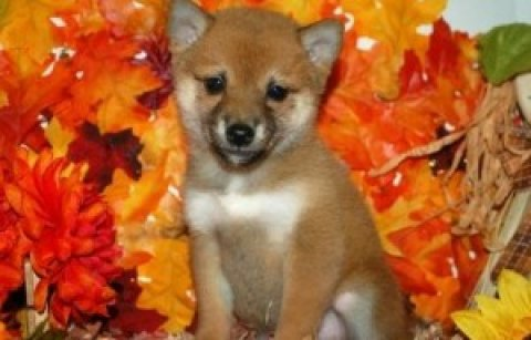 Cultural Shiba Inu Puppies READY FOR ADOPTION