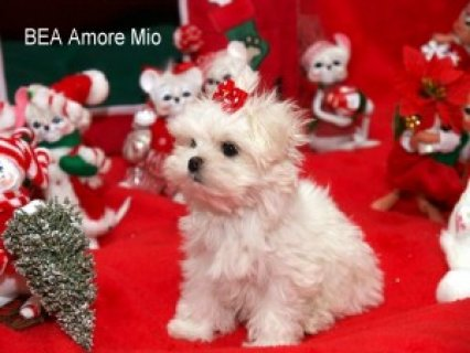 Beautiful Maltese Puppies For Adoption