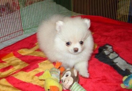 AKC Registered Pomeranian Puppies for new home