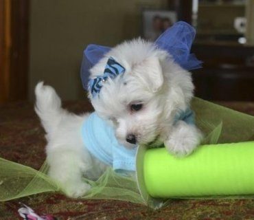 Purebred Maltese Puppies for lovable home