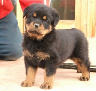 Rottweiler Puppy for home