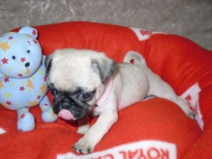 Cute and Adorable Pug Puppies for Sale