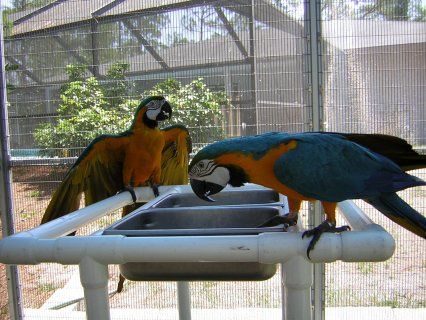 صور Intelligent and talking Blue and Gold Macaw Parrots For New home 1