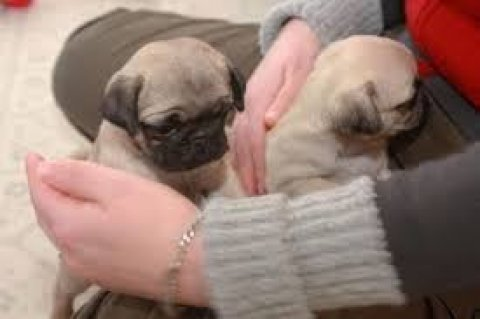 Registered Pug Puppies