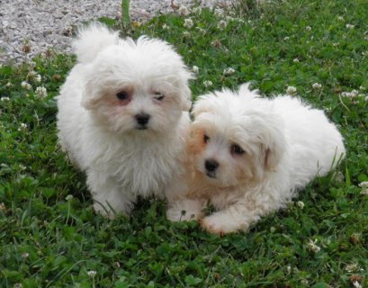 Healthy Potty Trained Maltese Puppies