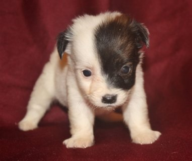 Charming Jack Russel Terrier Puppies for re homing .d