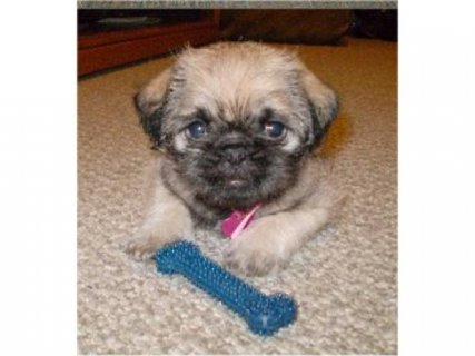 Pug x Lhasa puppies