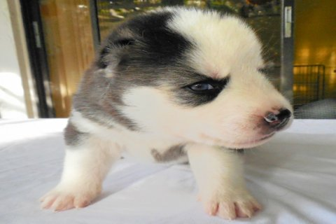 Beautiful Black and White Male Husky Puppy with Blue Eyes