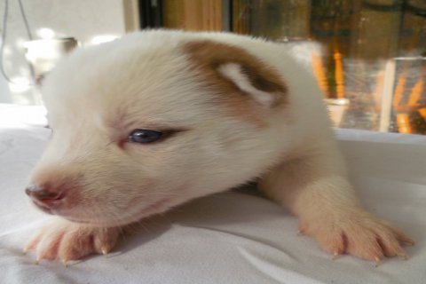 Beautiful Rare Brown Piebald Husky Puppy with Blue Eyes