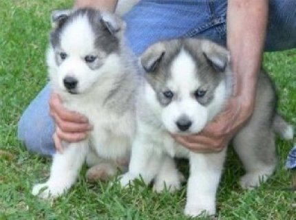 Males and Female Siberian Huskies
