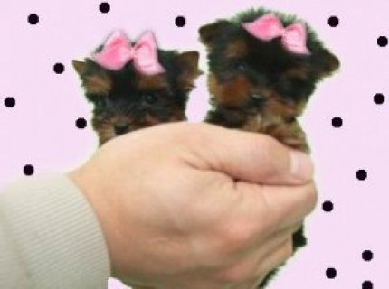 Lovely Teacup Male and Female Yorkshire Terrier
