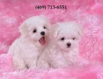 صور Teacup Maltese Pups For Adoption 1