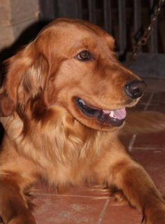 pure golden retriever puppies males and females