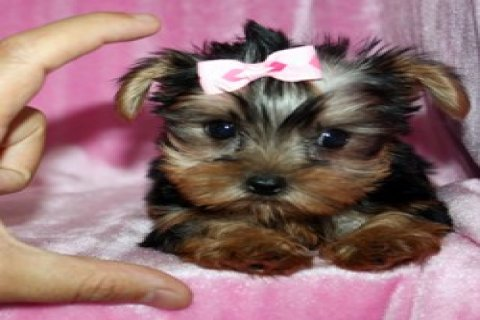 gYorkie Pups for Sale
