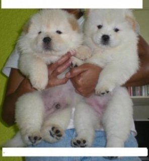 kHEALTHY CHOW CHOW PUPPIES FOR SALE