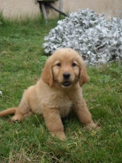 صور &quot;&quot;&quot;FOR SALE&quot;&quot;&quot; Golden Retriever puppies  <<40 DAYS >> 1