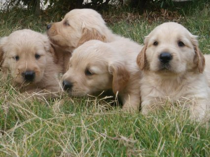 صور $&quot;&quot;&quot;FOR SALE&quot;&quot;&quot; Golden Retriever puppies  <<40 DAYS >> 3