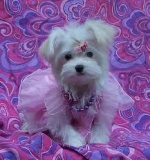 T-Cup Maltese puppies T-Cup Maltese