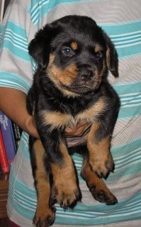 Amazing Rottweiler Puppies