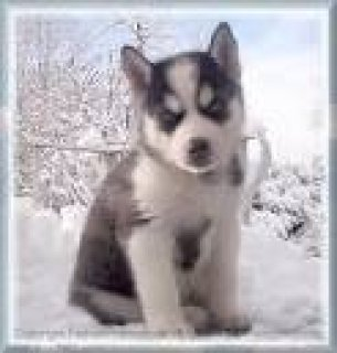 Siberian Husky Puppies to good home!