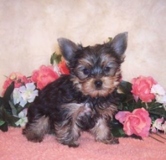 Yorkie Puppies Available for Re-homing.