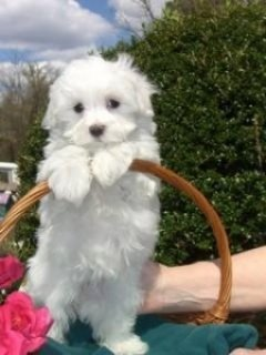 Maltese Puppies Available for You