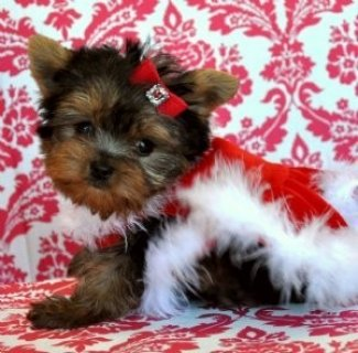 صور Adorable Yorkie puppies ready for adoption 1