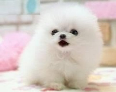 AKC Tiny Pomeranian Puppies