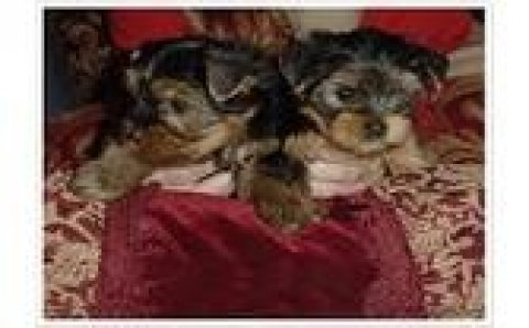 Teacup Yorkie Puppies Available