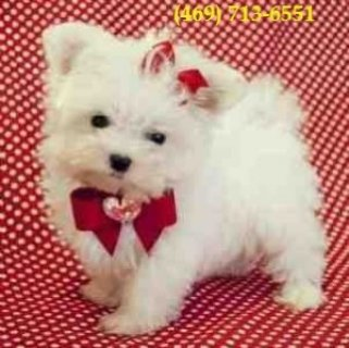 Tiny Teacup Teacup Maltese Puppies for Sale